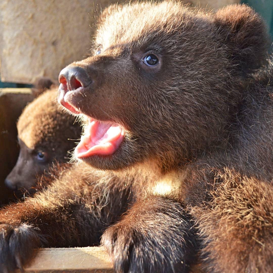 Медвежатам около двух месяцев, у них начинают резаться зубки