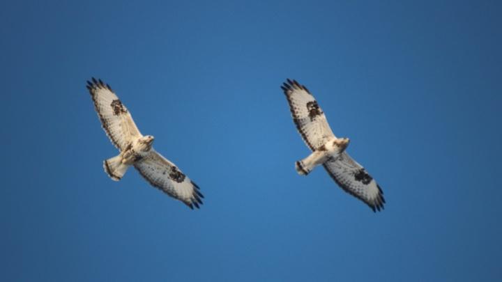 Фотограф запечатлел синхронный полет брачующихся канюков