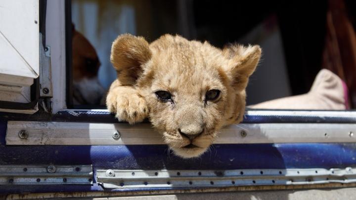 «Кушает, гуляет, спит»: как сейчас живет львенок, спасенный из багажника автобуса