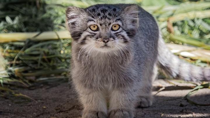 У манулят в Новосибирском зоопарке второй раз изменился цвет глаз — разглядываем 7фотографий диких котят