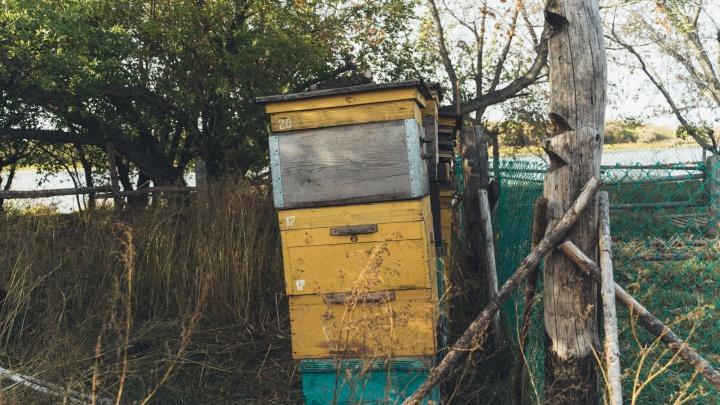 В двух районах Омской области начали массово гибнуть пчёлы — разбираемся, в чём дело