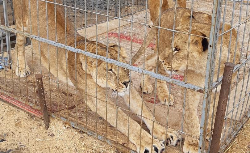 Чиновники и бизнесмены помогли животным цирка, который из-за коронавируса застрял в Кургане