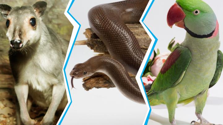 В зоопаркеЕкатеринбурга выбирают самого обаятельного питомца, в кандидатах — удав-лекарь и кенгуру