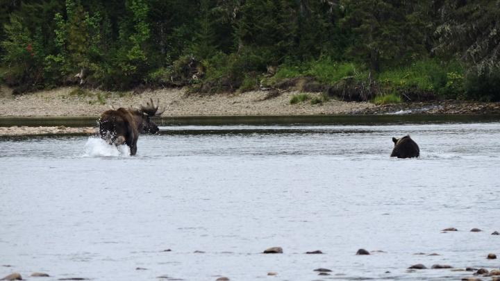 Сотрудник Вишерского заповедника сфотографировал схватку медведя с лосем