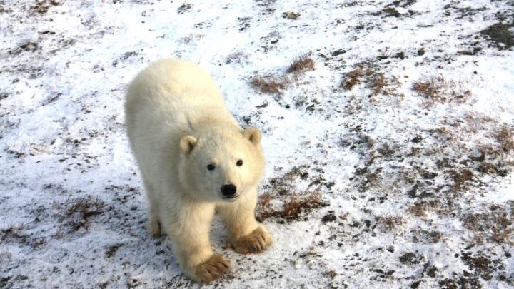Максимально упитанные мишки: учёные проверили, как живут белые медведи на участках «Роснефти»