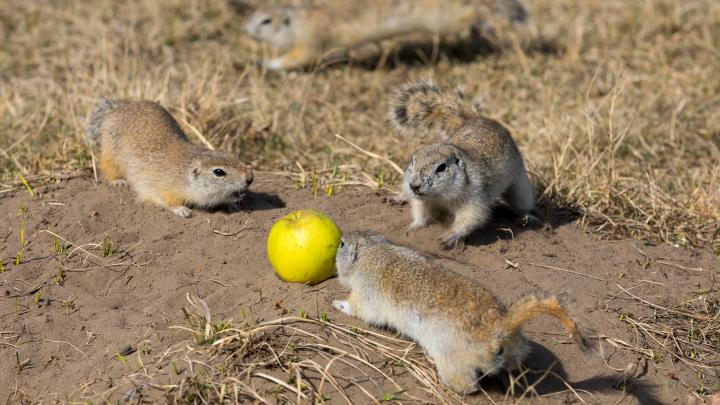 Голодные суслики на Татышеве подрались из-за еды. Смотрим, как звери переживают самоизоляцию красноярцев