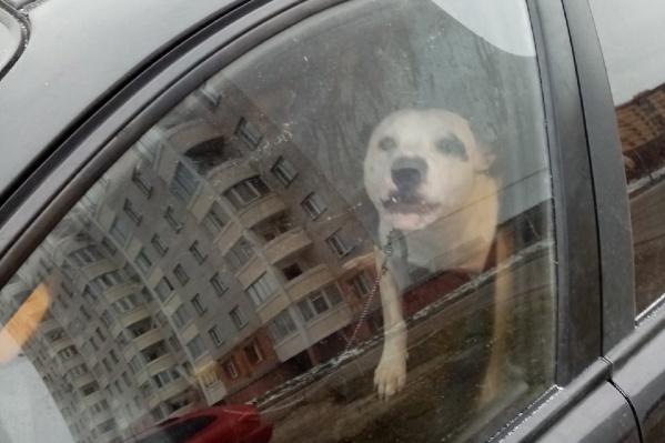 Ярославцы пожалели запертого в машине пса