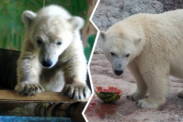 Аврора приехала в Красноярск маленьким грязным медвежонком, а выросла в большую белую красивую медведицу