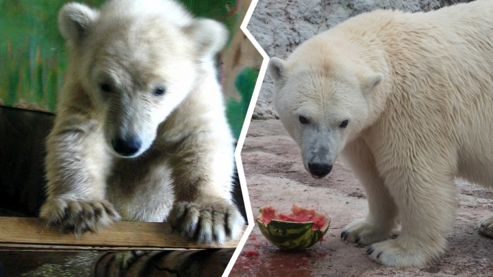 «Она была ласковая, но с характером»: вспоминаем, как в Красноярске появилась медведица Аврора