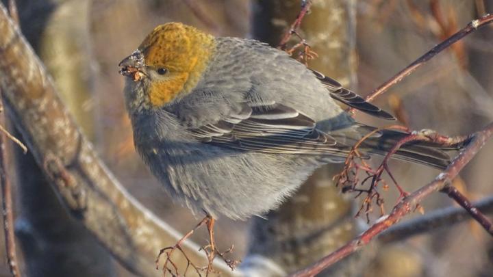 Смотрите славную фотоколлекцию красноярских птичек: так близко вы их не видели