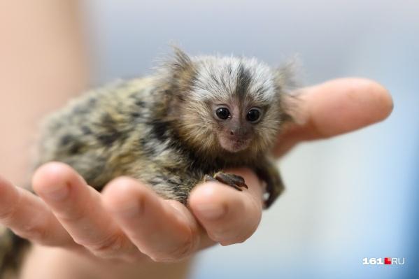 Игрунки — это самые маленькие обезьянки