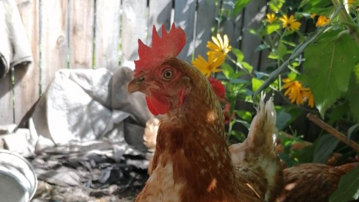 Карантин по птичьему гриппу ввели уже в семи районах Омской области