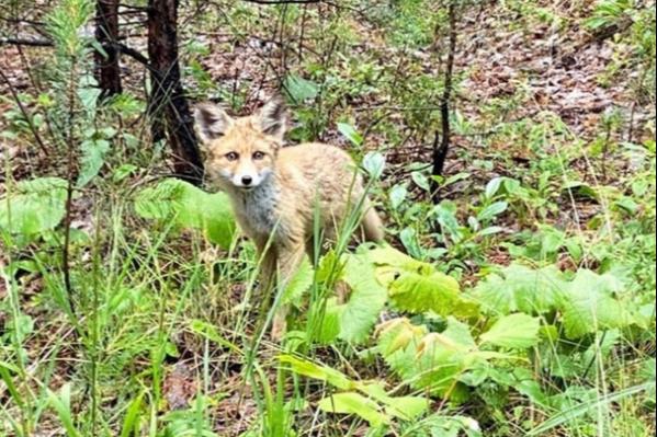 Растрёпанный вид и блуждающий взгляд лисы стали поводом для шуток у комментаторов фото