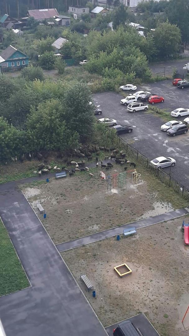 Овец выпустили на детскую площадку