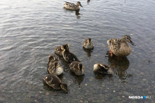 В центре города мама-утка с утятами искали водоем
