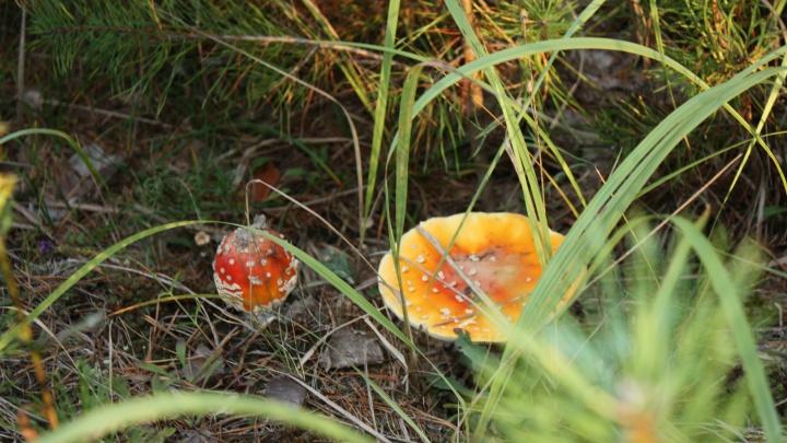 В Курганской области появились первые случаи отравления грибами