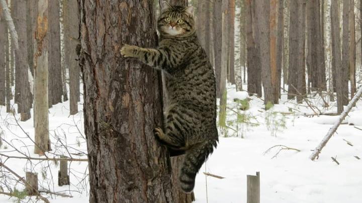«Компаньон и друг не хуже собаки»: у тюменки живет кот, который каждый день гуляет по лесу