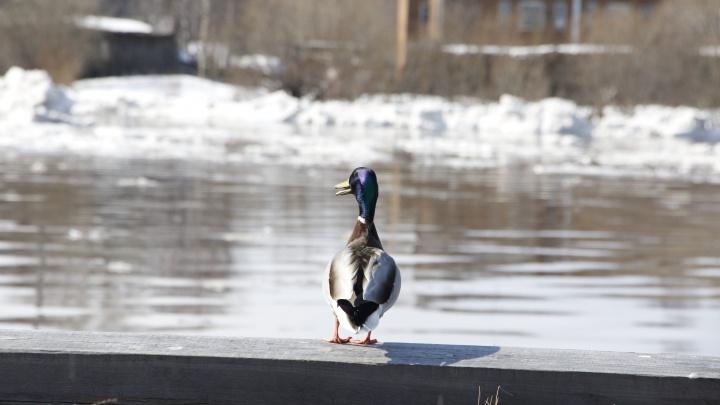 Всё замерло в ожидании: смотрим, как к Архангельску приближается ледоход