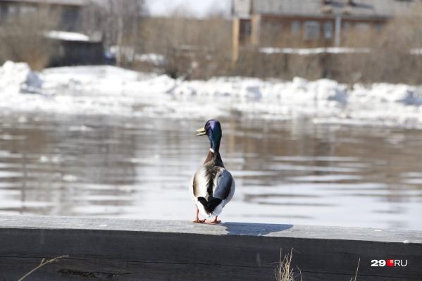 Селезень вышел обозреть обстановку на реке<br>