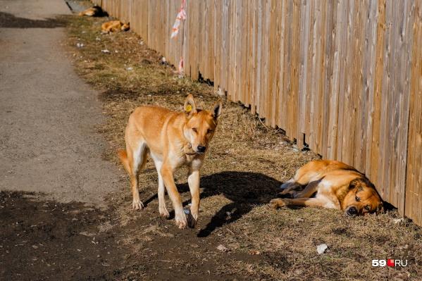Пермячку покусали бродячие собаки