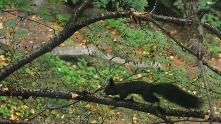 В Академгородке заметили чёрную белку: зоолог объяснил, почему она такого необычного цвета