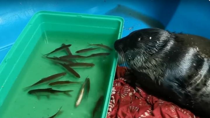 «Нерпопад начался»: как волонтёры из Архангельска спасают детёныша тюленя — видео