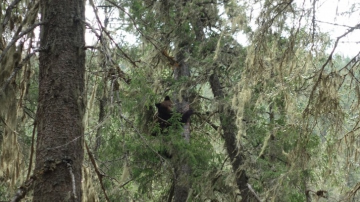Посетителей «Гремячей гривы» предупредили о бродящей в парке медведице