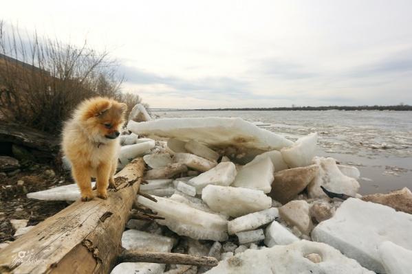 Такой любопытный пёсик на набережной Котласа