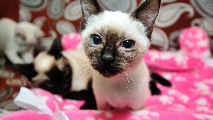Могут ли кошки заболеть и заразить коронавирусом? Отвечают ветеринары