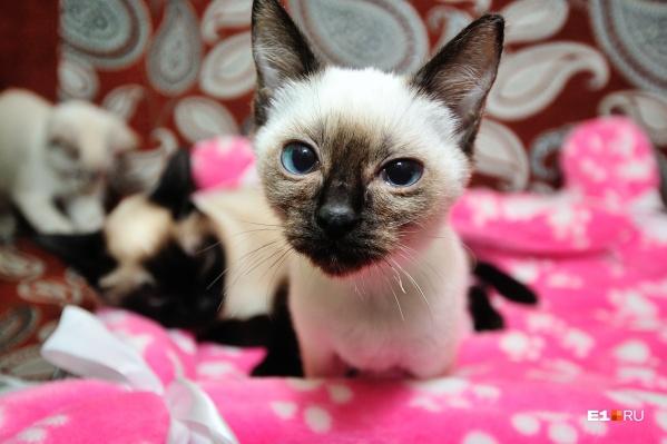 Кошки тоже заражаются коронавирусом, но другим