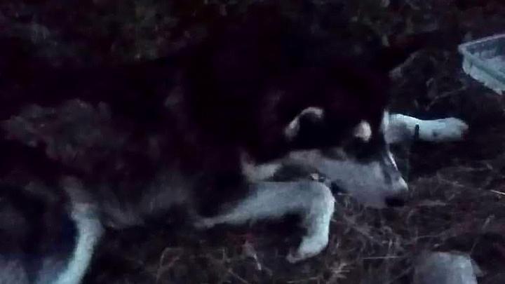 «Сегодня это собаки, а завтра люди?»: в Светлом Яре волонтеры ищут жестокого убийцу хаски