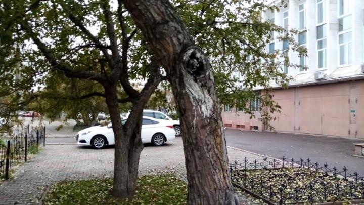 На Мира возле краевого суда вырубили взрослые яблони: они высохли и были поломаны ветрами