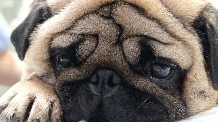 В Перми ветеринары провели сложную операцию — мопсу удалили заворот легкого (это очень редкая патология)