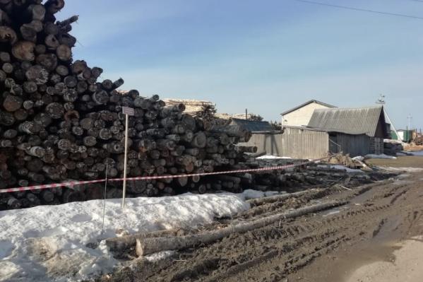 Тихон Тараканов сложил деревья, не следуя технике безопасности
