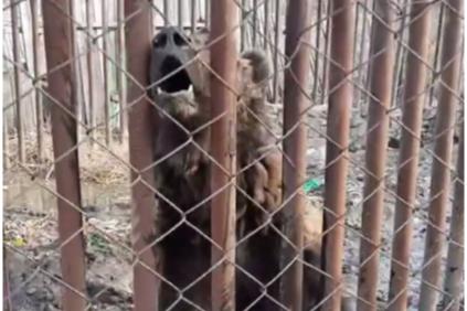 На даче под Красноярском голодают брошенные взаперти медведи