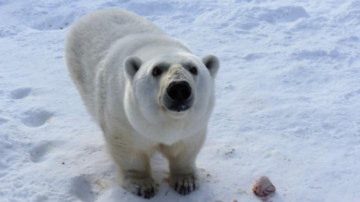 В Большереченском зоопарке умерла белая медведица Гуля