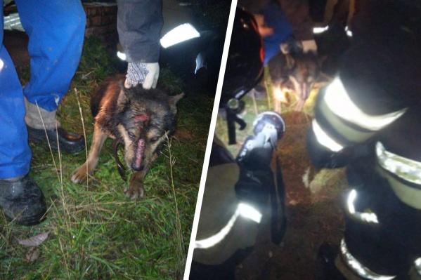 Собака ободрала себе морду, пытаясь выкарабкаться из трубы