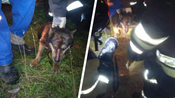 На Урале волонтеры и пожарные спасли собаку, которая трое суток просидела в трубе
