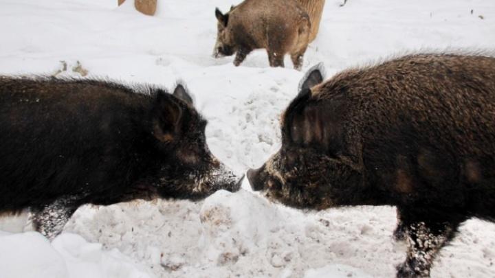 Случаи африканской чумы свиней зарегистрировали в Самаре