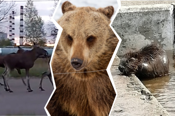 Появление диких зверей в городе стало явлением не таким уж и редким