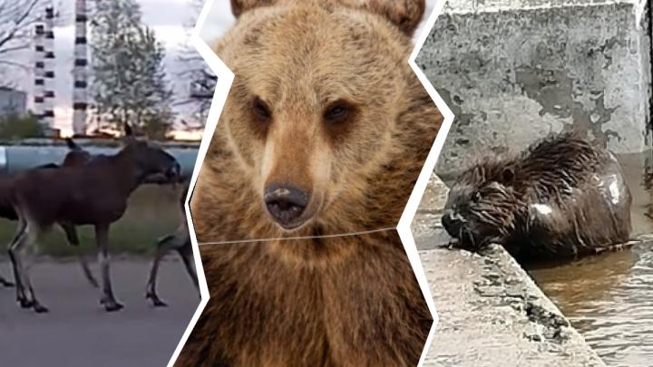 Зверополис по-ярославски: как медведи, лоси и другие звери захватывают городское пространство. Карта
