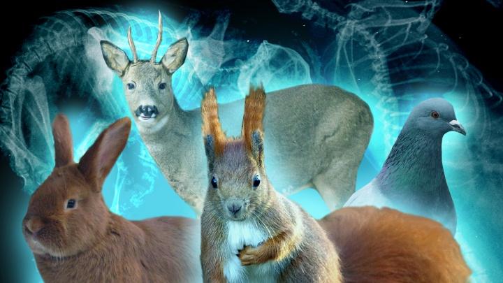 Какой-то беременный колобок: угадайте животное по его рентген-снимку — 10 забавных кадров