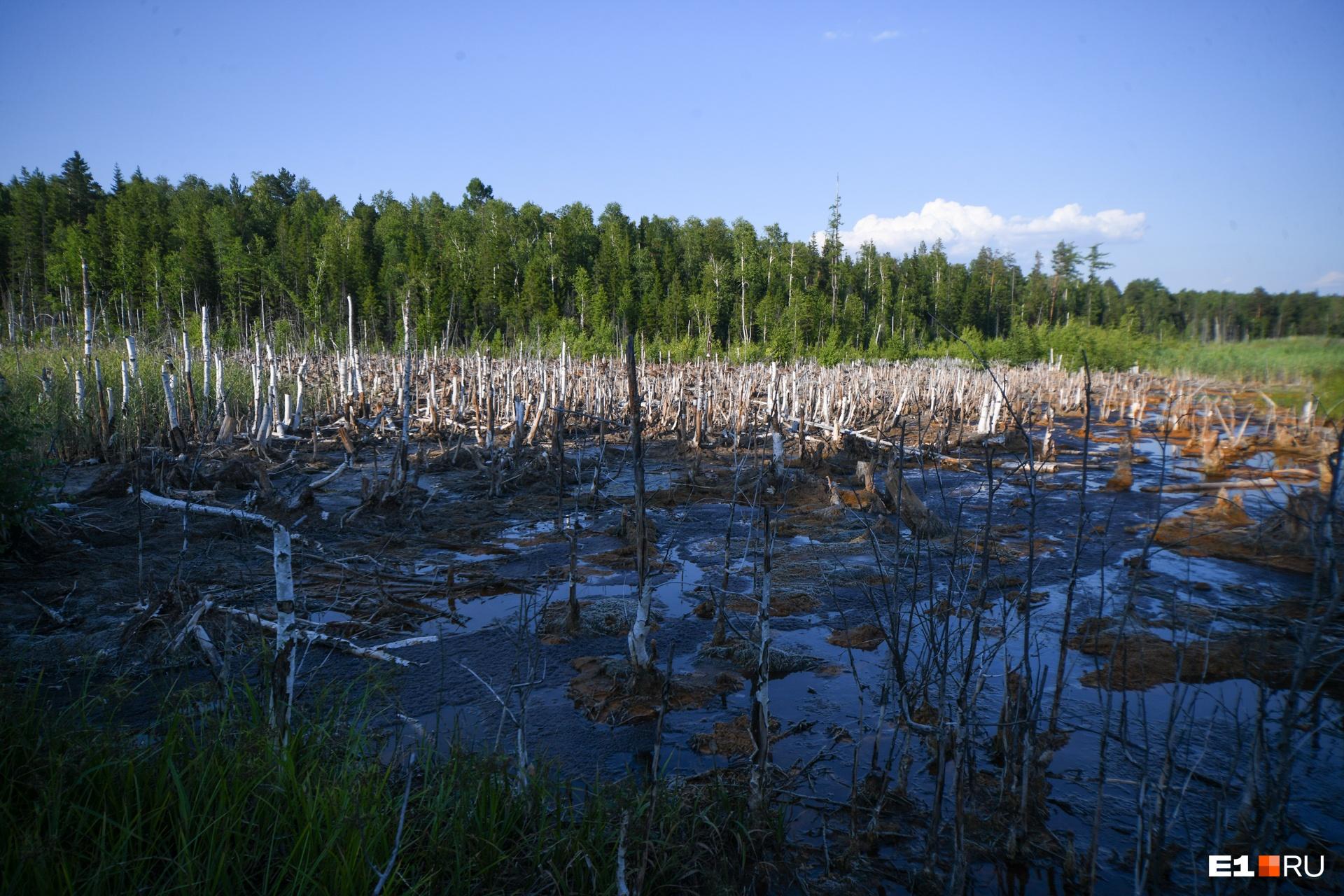 Из пруда-отстойника шахтные воды с известью стекают в реку Тагил. За долгие годы они выжгли гигантскую плешь в лесу