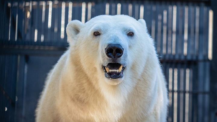 Красноярским белым медведям подарили огромные игрушки. Умилительное видео