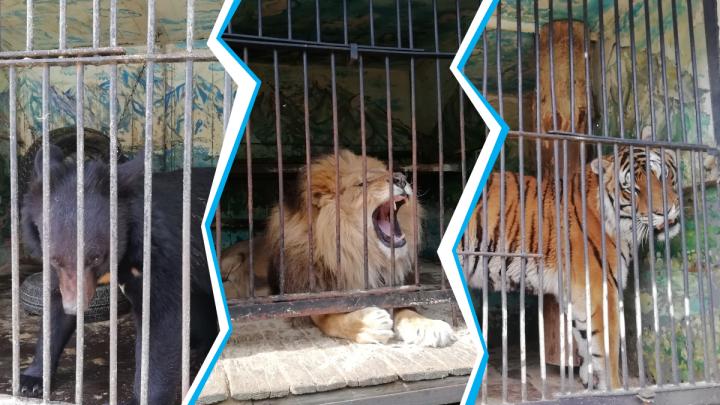 Передвижной зоопарк со львом и медведями застрял в Барабинске — жители собирают для животных мясо и фрукты