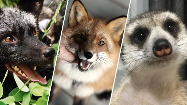 Лисы за 500: сибирячка открыла необычный бизнес — она продает прогулки с дикими животными на поводке