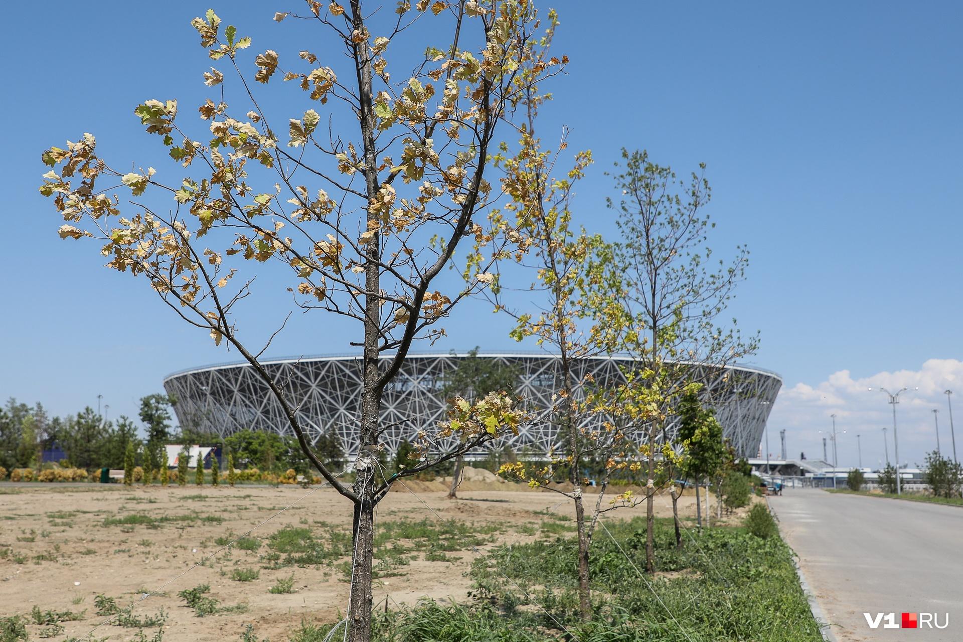 Сохнут без полива не только молодые елочки, но и заботливо выращенные многолетние деревья