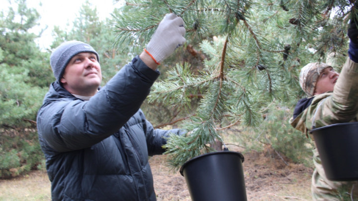 Тонны шишек и желудей: Минлесхоз отчитался о заготовке семян в Самарской области