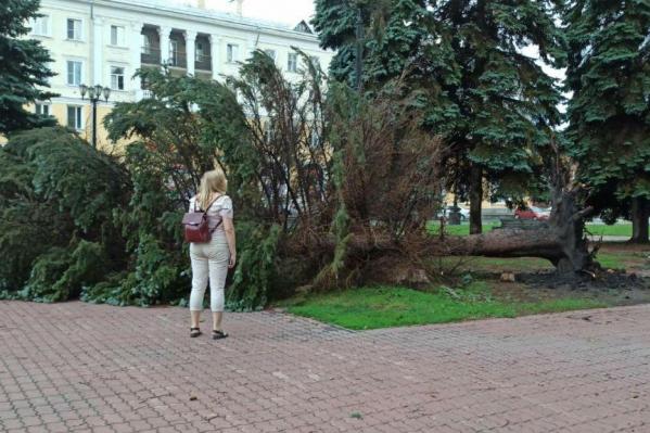 Ветер силой 25–27 м/с способен повалить не одно такое дерево