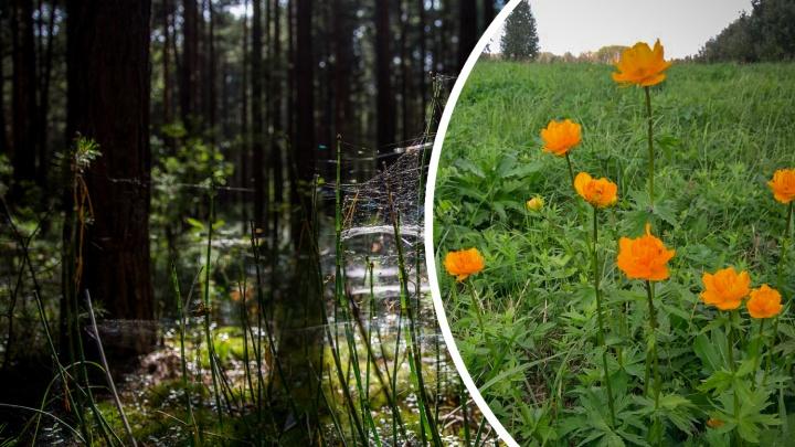 На лугу под Новосибирском снова зацвели весенние цветы — ботаник объяснил, почему это плохо